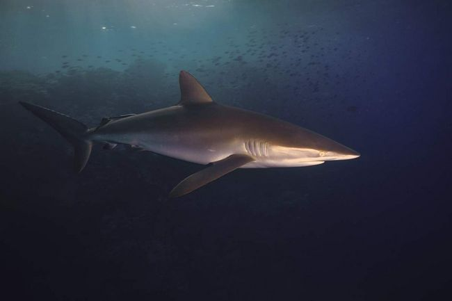Шовкова акула (Carcharhinus falciformis).