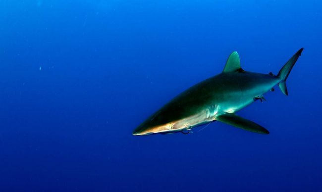 Шовкові акули поширені по всій планеті.