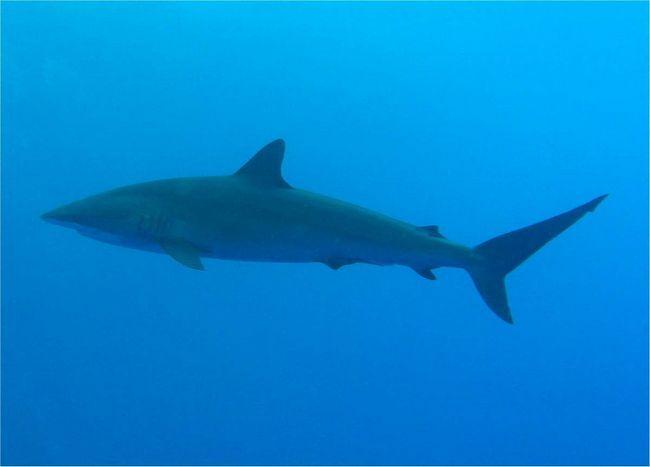 Шовкові акули рідко нападають на людей.