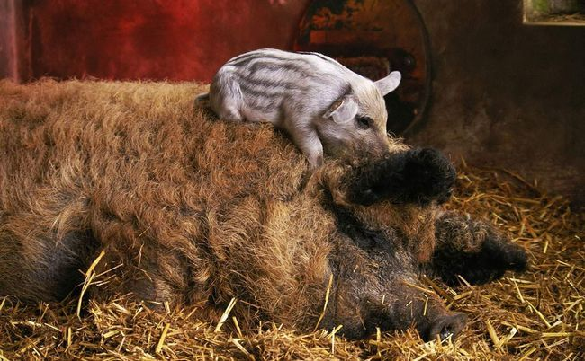 Порода домашніх свиней - шерстисті свині.