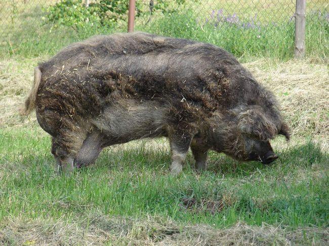 За кількістю шерсті ці свині могли б позмагатися навіть з вівцями.