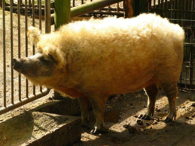 Шерстисті свині - володарі шикарної шевелюри.