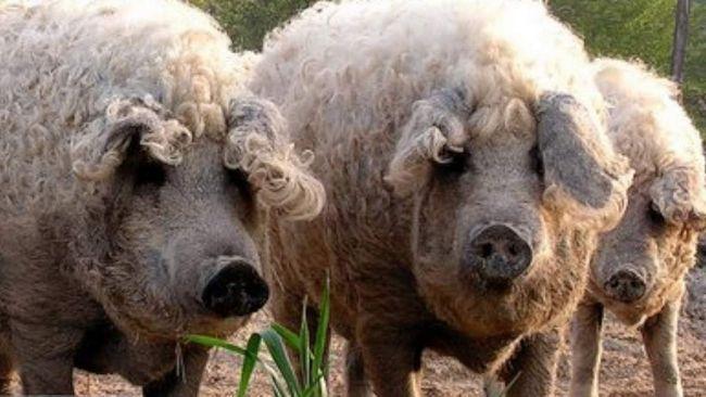 Шерстисті свині - кучерики як у справжнього баранчика.
