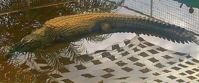 Шестиметровий гребенястий крокодил став найдовшим в своєму вигляді