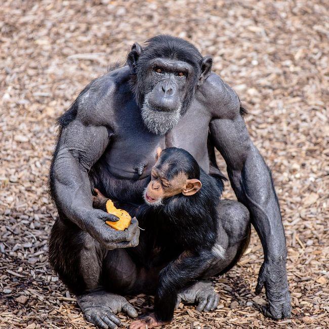 Шимпанзе може заразити людину ВІЛ.