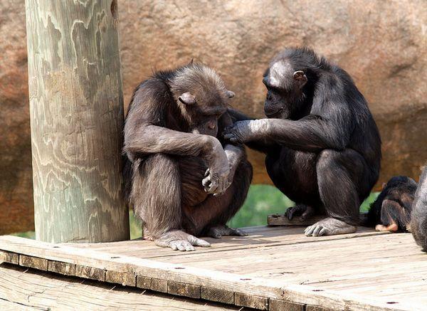 Шимпанзе вступають в контакт з товаришами виключно з егоїстичних мотивів.