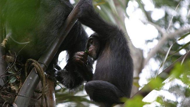 Шимпанзе п`ють алкоголь в дикій природі.