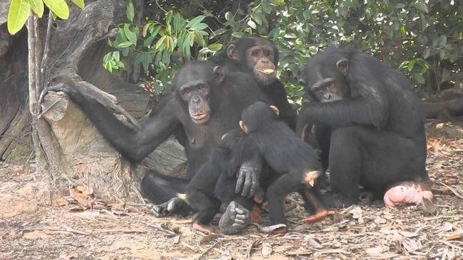 Для видобутку пальмового соку ці примати використовують спеціальні пристосування.
