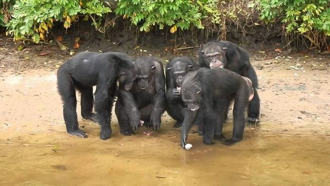 Деякі шимпанзе після спиртного поводяться вкрай неспокійно.