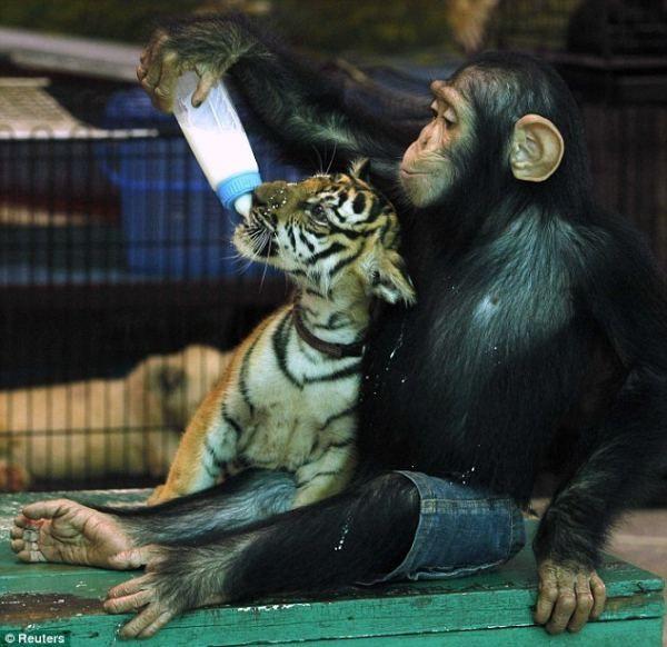 Шимпанзе проявила материнську турботу про тигреня