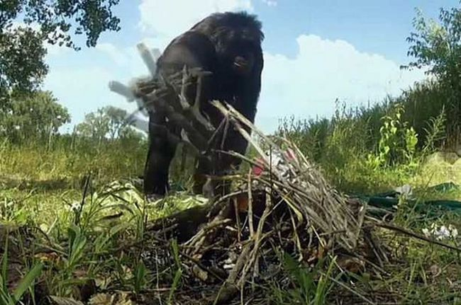 Шимпанзе самостійно розвів багаття, щоб приготувати солодкий десерт