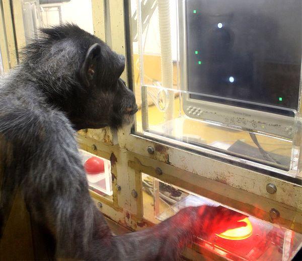 Шимпанзе за відеогрою (фото Primate Research Institute, Kyoto University).