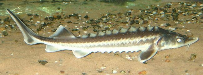 Тривалість життя риби шип - 30 років.