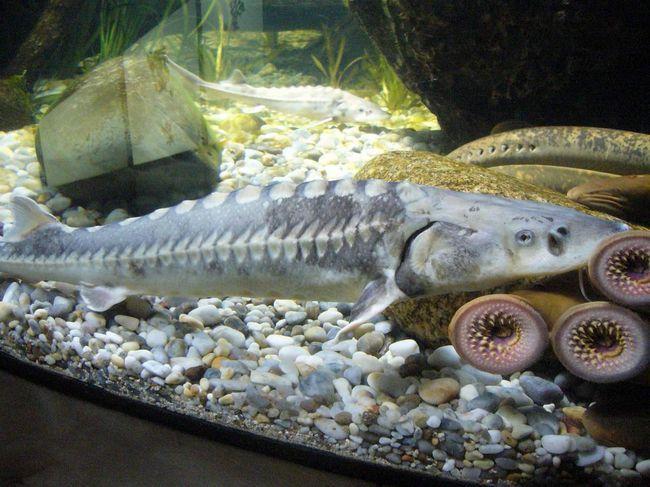 Риба шип в акваріумі з міногами.