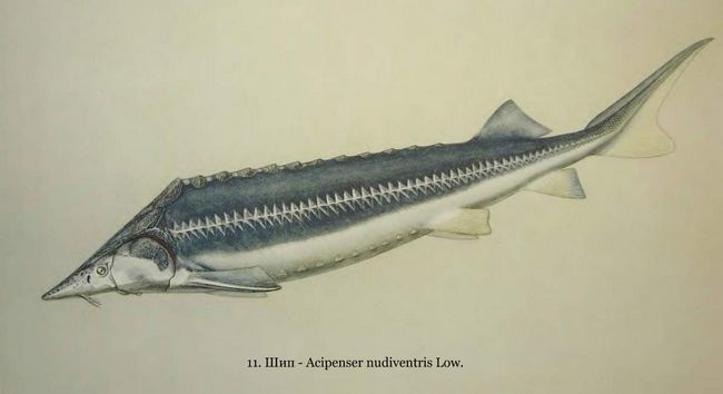 Шип - цінна промислова риба.