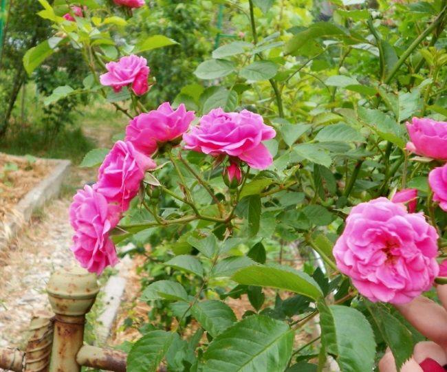 Шипшина: вирощування і догляд