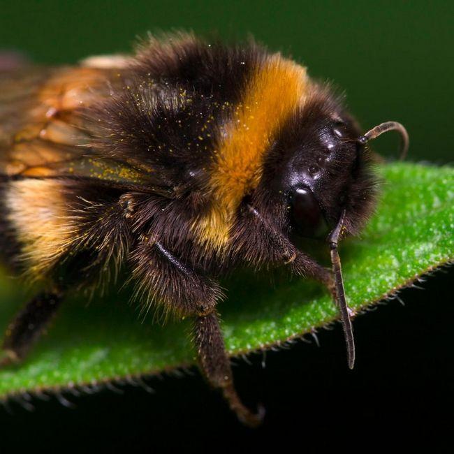 Джмелі, або земляні бджоли (bombus)