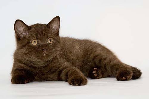 кошенята шоколадного окраса