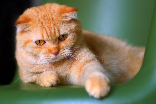 Короткошерста шотландська висловуха кішка