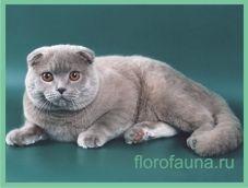 Шотландскаявіслоухая кішка