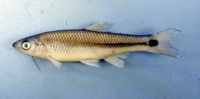 Рибки виду Cyprinella venusta страждають від зовнішнього шуму і вимушено
