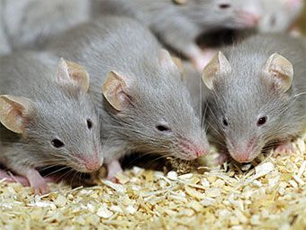 Швед помстився колишній дружині виводком мишей