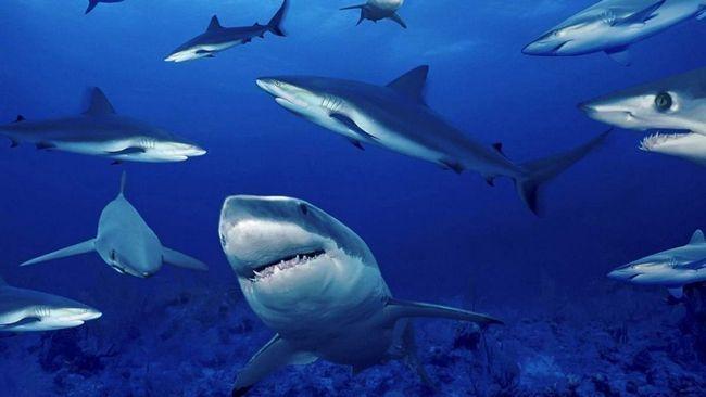 Акули на грані вимирання.