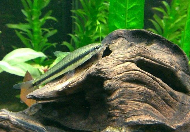 Сіамський водорослеед на дні акваріума.