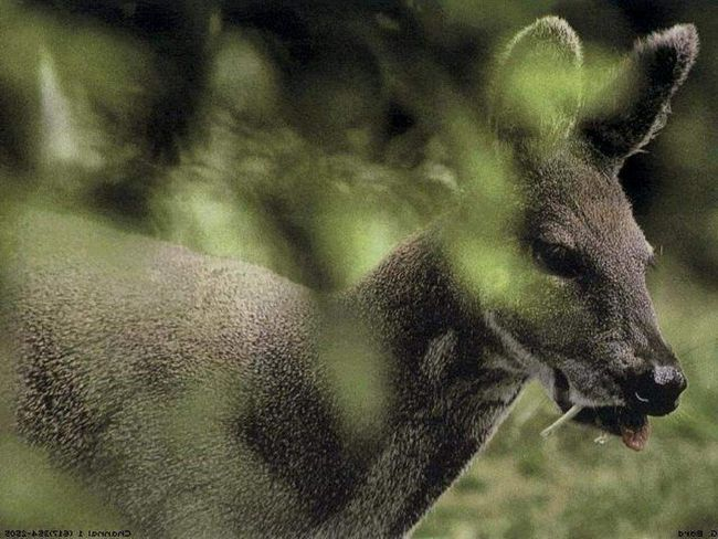 Кабарга сибірська (Moschus moschiferus).