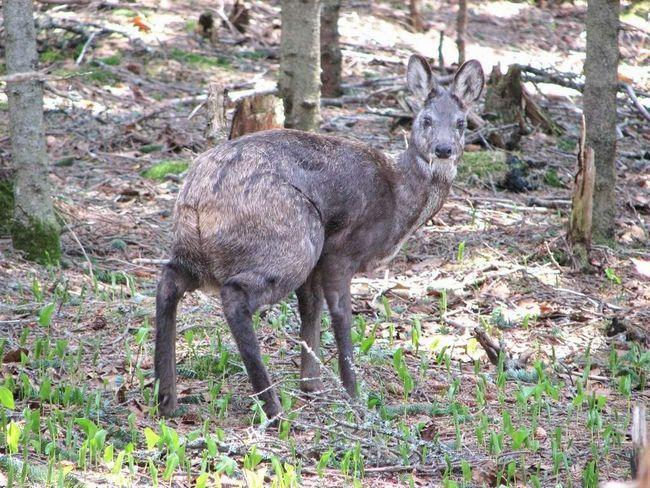Мордочка кабарги віддалено нагадує зовнішність кенгуру.