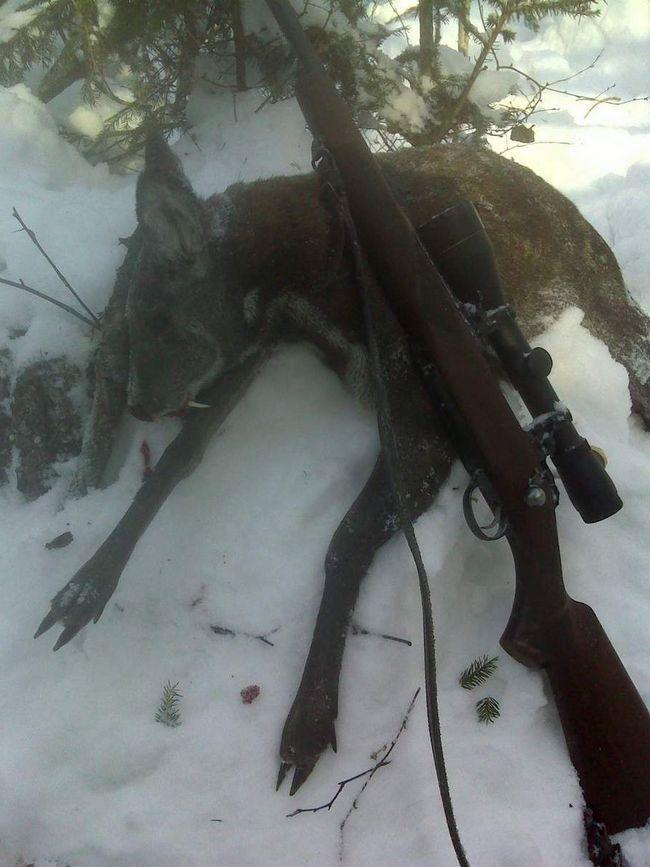 Кабарга часто стає об`єктом людської полювання.
