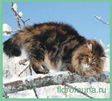 Сібірскаякошка.