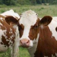 Симентальська порода корів