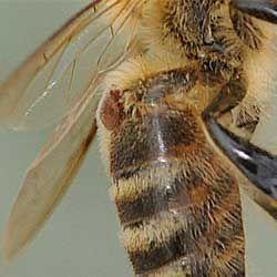 Симптоми, діагностика та лікування бджіл від варроатоза, заходи профілактики