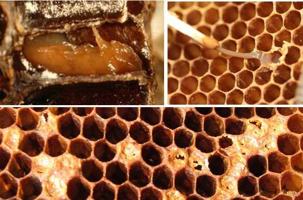 Симптоми американського гнилизна бджіл