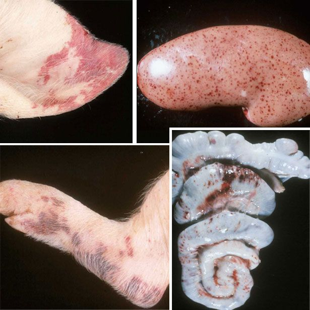 Симптоми класичної чуми свиней