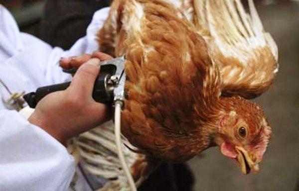 Вакцинація птиці від кокцидіозу