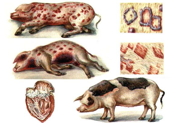 Зовнішні прояви захворювання рожа свиней