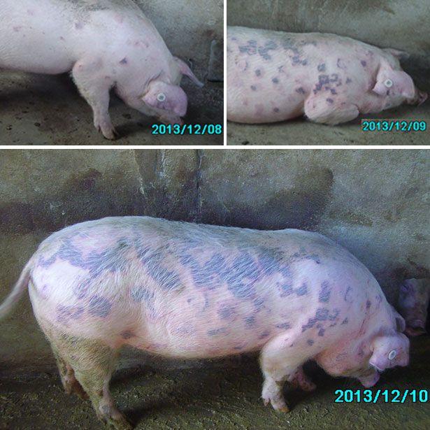 Рожа свиней перебіг хвороби