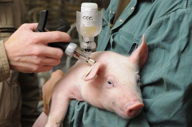 Вакцинація свиней як міра профілактики