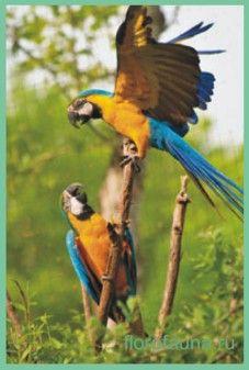 Синьо-желтийара або арарауна / ara ararauna