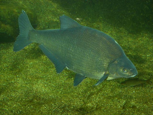 риба синець фото