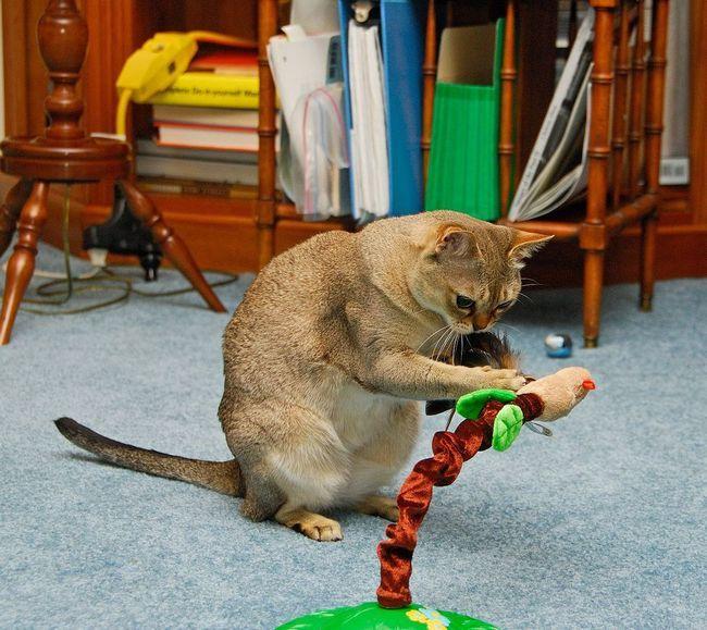 Сінгапурська кішка, або сінгапуру