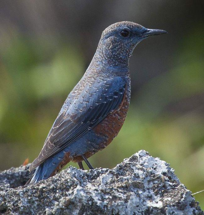 Синій кам`яний дрізд (Monticola solitarius).