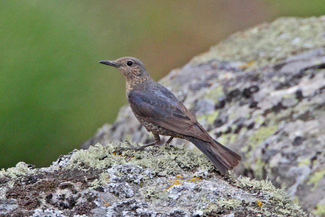 Зимують птахи на півдні, здійснюючи перельоти до Північної Африки.