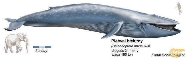 Синій кит (Balaenoptera м`язи) - найбільше відоме тварина на Землі.