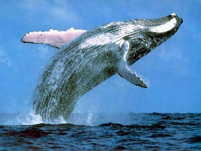 Уявляєте, як така машина вистрибує з води? Між іншим - саме це часто роблять сині кити, щоб позбутися від паразитів на шкірі
