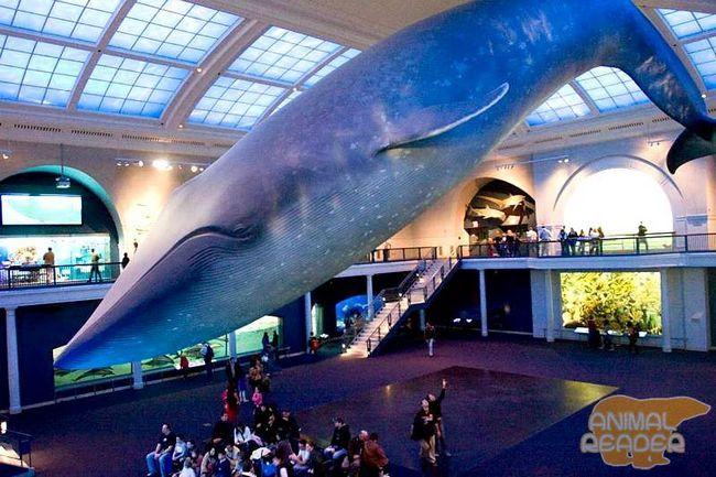 Синій кит - порівняти розмір з людиною.