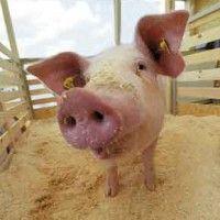 Системи і способи утримання свиней