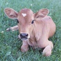Системи вирощування телят молочних порід